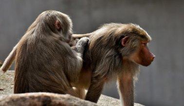 Babuinos Escapan de laboratorio conocido por maltratar y asesinar primates