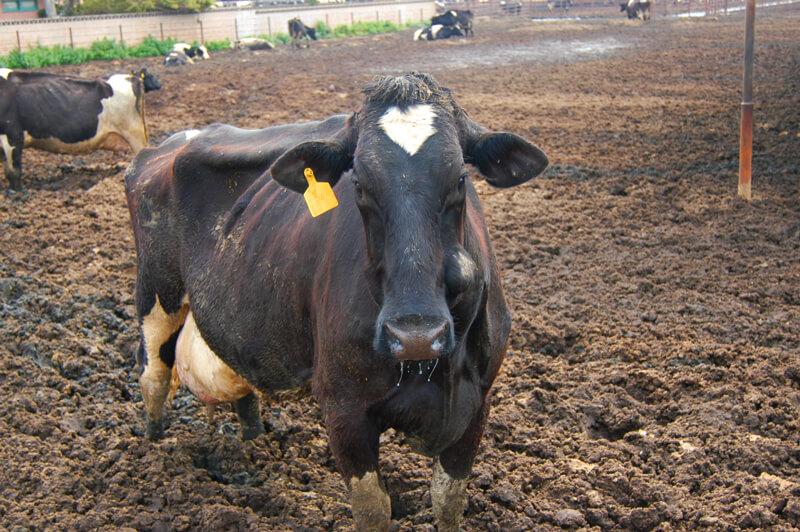 cow-on-factory-farm