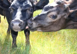 Video: Cows Won't Leave Fallen Friend