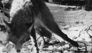 Las fauces de la muerte: Cómo torturan y matan animales las trampas de mandíbulas de acero
