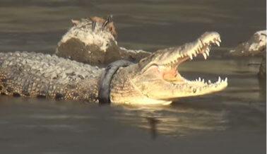 Carrera contra el tiempo para salvar a cocodrilo con neumático atascado alrededor del cuello