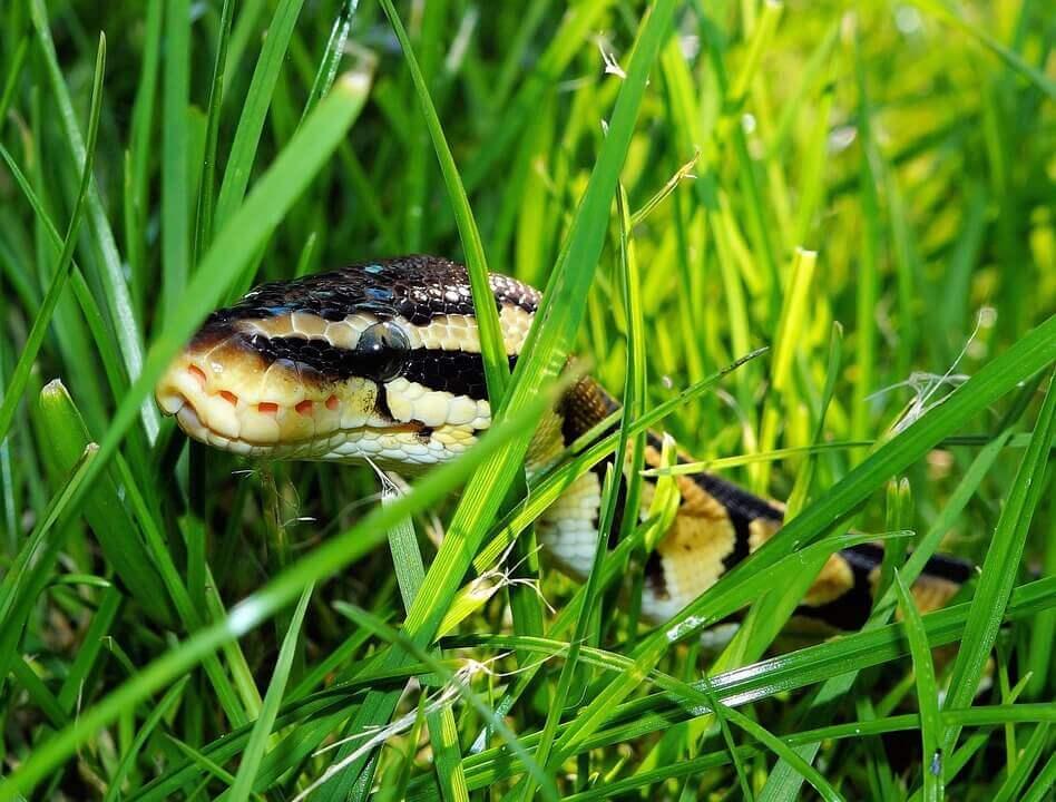 Serpiente entre el pasto