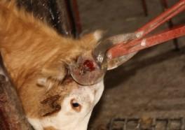 El descornar es tortura para las vacas
