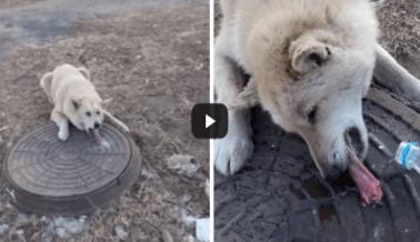Mira cómo rescata este hombre a un perro cuya lengua se pegó a una alcantarilla congelada