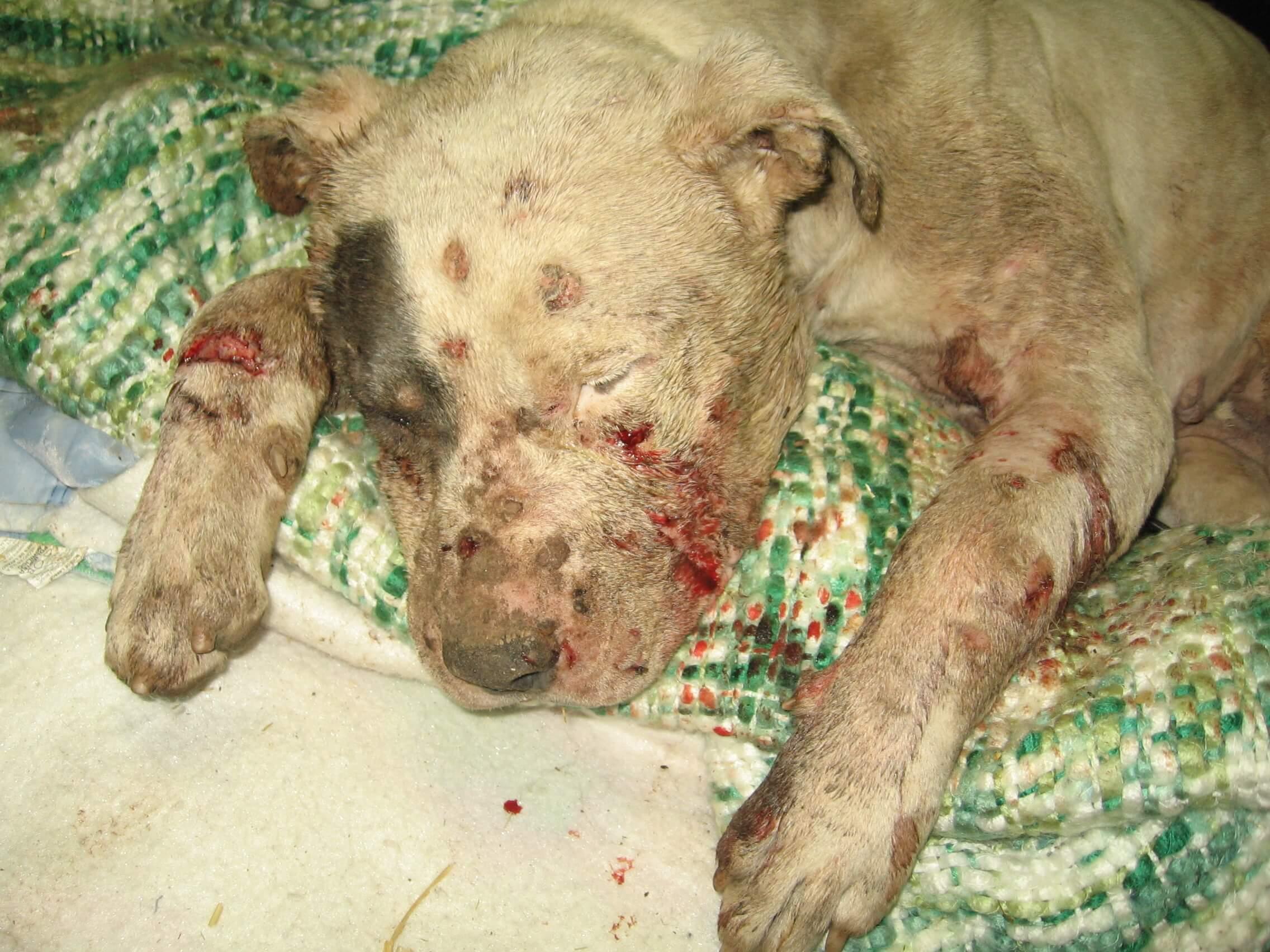 dog fight KILLER