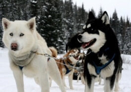 Dog Killed in Iditarod