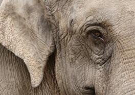 Overworked Elephant Drops Dead After Giving Rides to Tourists