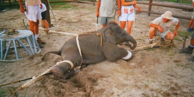 baby elephant-training