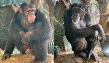 Se Cierra el Telón: No Hay Más Chimpancés en Hollywood