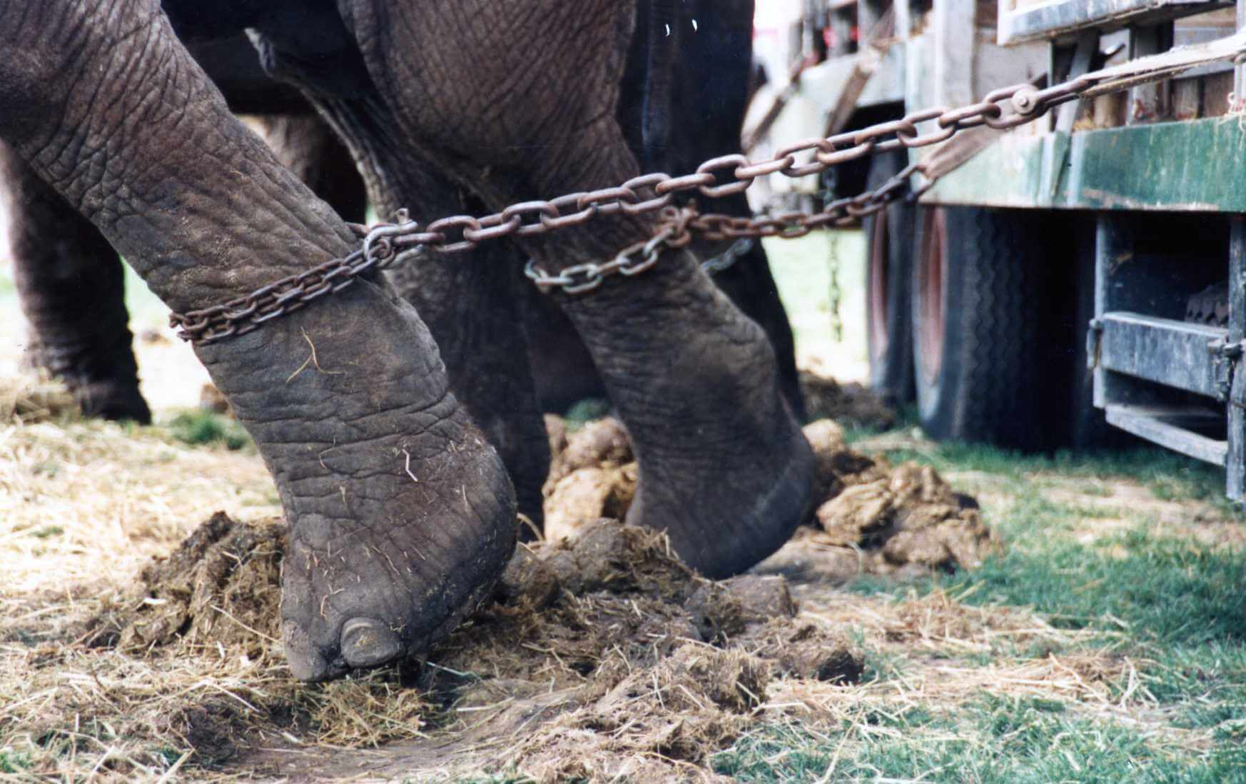 Elephant foot chained