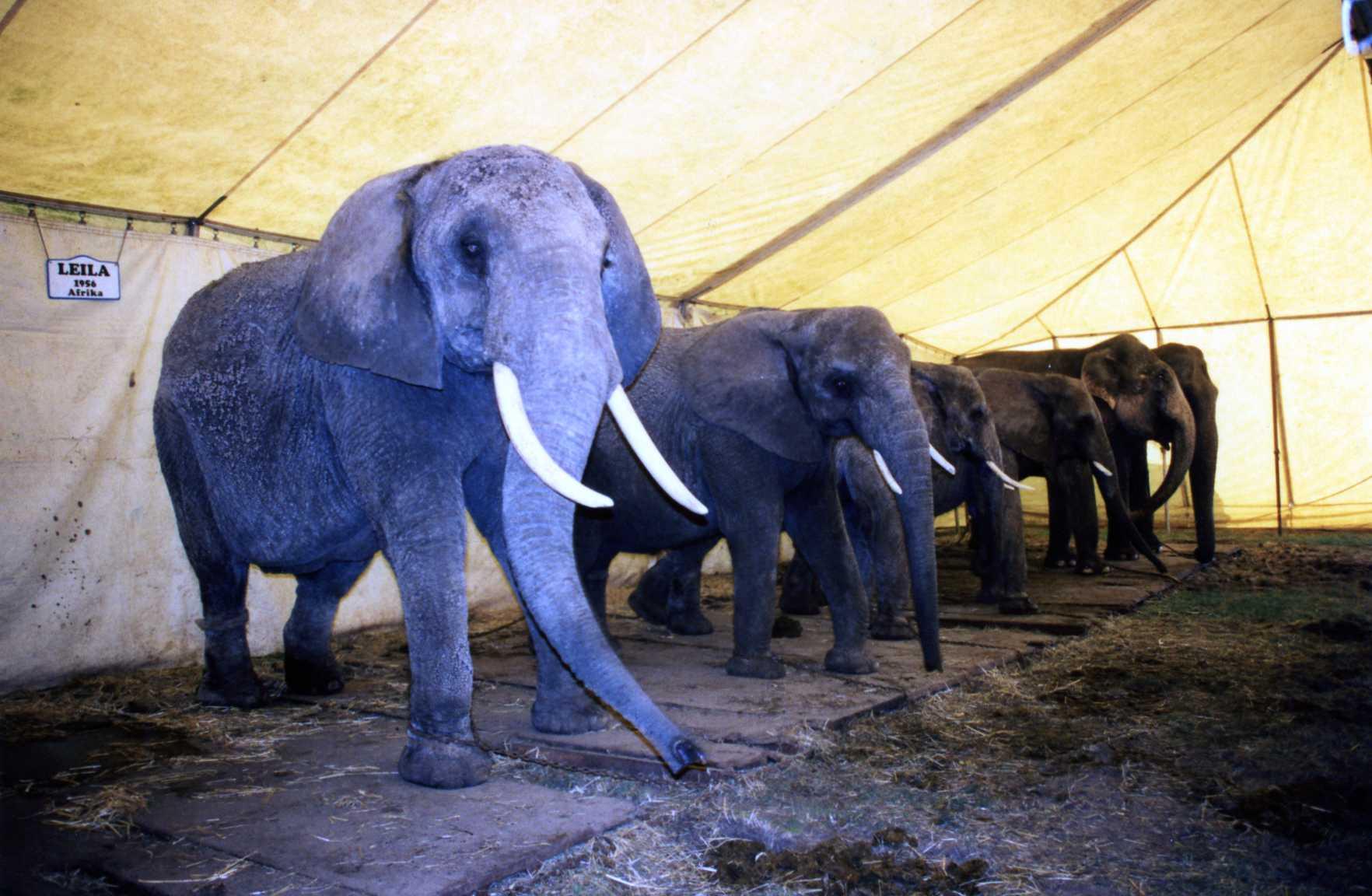 Chained elephants