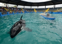 7 Reasons Why Lolita Is the Loneliest and Saddest Orca in the World