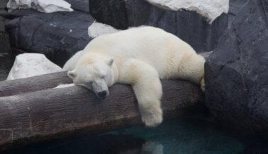 La osa polar Szenja muere de tristeza y en soledad, sospecha PETA