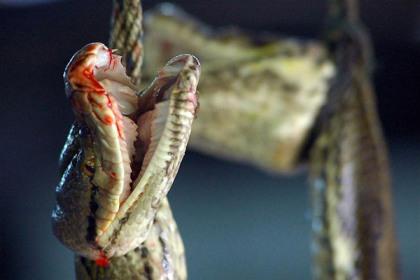 Snake killed for exotic skins
