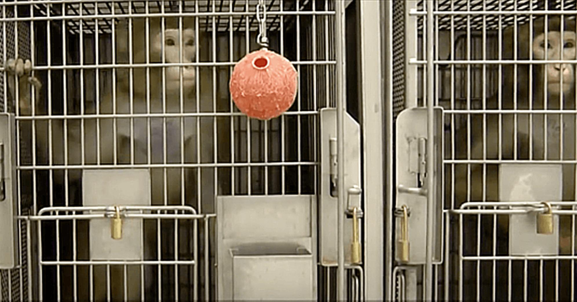 monos enjaulados en universidad de washington laboratorios