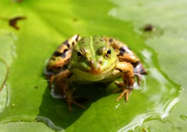 ¿Por qué están saltando de la alegría las ranas en Lima?