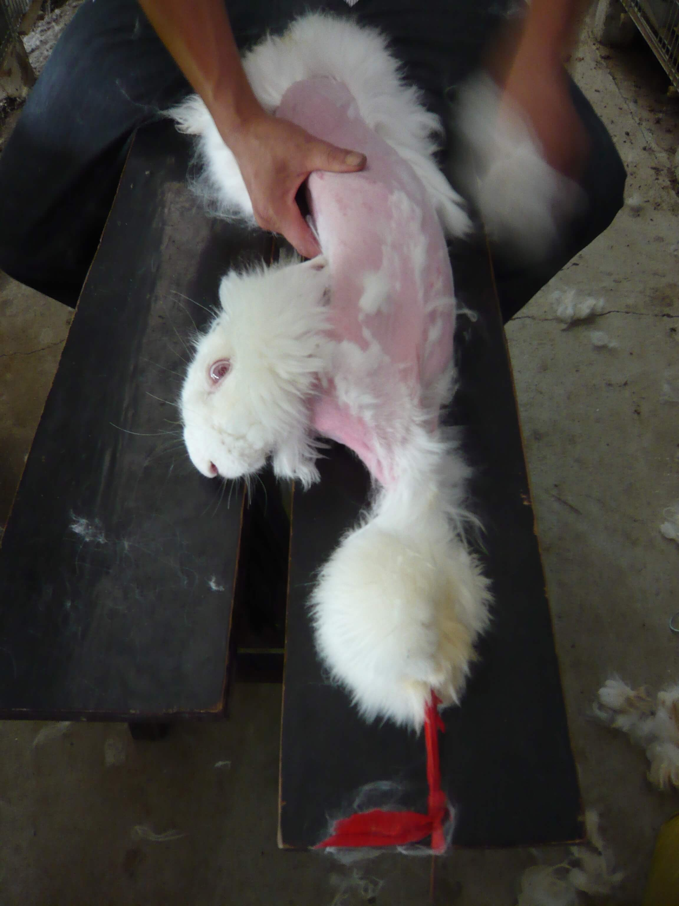 An angora rabbit being plucked for his or her fur.