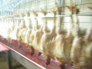 Gallinas sin cabeza en fabrica de granja