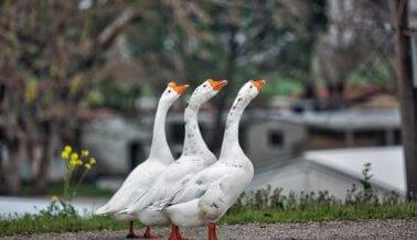 Prohibición de Foie Gras vigente en California después de decisión de la Suprema Corte
