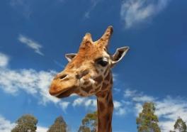 Jirafa bebé muere tras chocar con pared de su recinto en el zoológico
