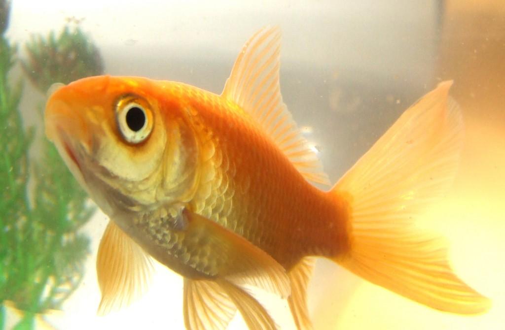 9 Reasons Why Fish Are Really Sad Pets Blog Peta Latino