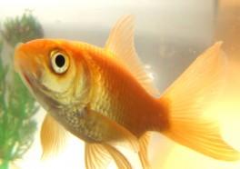 """9 razones por las que los peces son """"mascotas"""" muy tristes"""