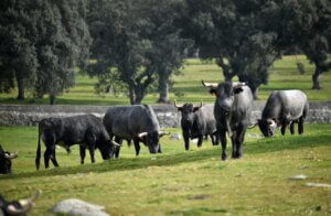 grupo de toros en la naturaleza