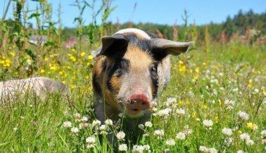 Hospital Cambia Cerdos Vivos por Tecnología para Formación en OBG Tras Conversaciones con PETA
