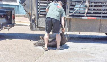 PETA Condena a Hombre que Lanzó un Cerdo Vivo a Activistas