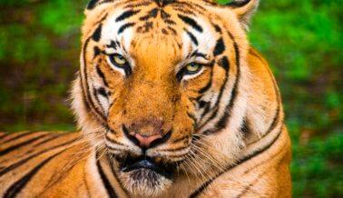 Después de que un tigre escapara y fuera asesinado a tiros, París reconsidera los actos circenses con animales