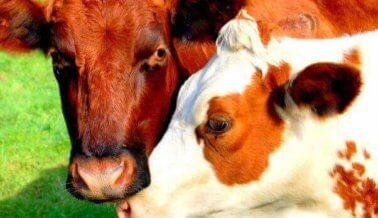 Si comes una hamburguesa, comes el corazón de una vaca, literalmente