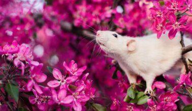 Los NIH retiran financiamiento para experimento racista en ratones