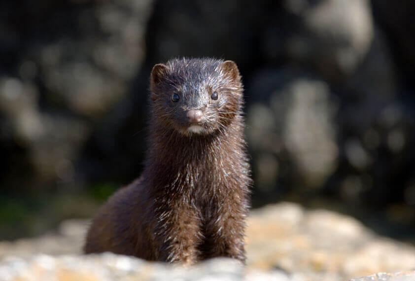 mink in natural habitat