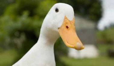 ¡Victoria! La Ciudad de Nueva York Prohíbe el Cruel Foie Gras