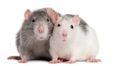 Un experimento cruel demuestra que las ratas son empáticas, los humanos no tanto
