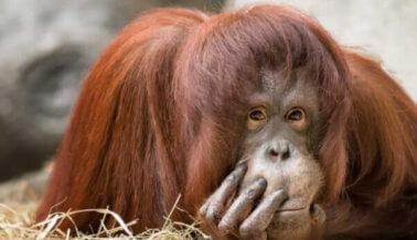 Video: Orangután disfrazado, ridiculizado y obligado a tomarse selfis con turistas