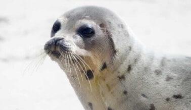 Canadá pierde otra excusa para defender la caza comercial de focas