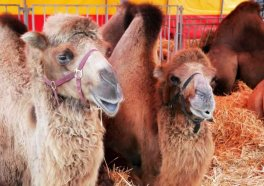 Live Nativity Scene Closed After Man Punches Camel (VIDEO)