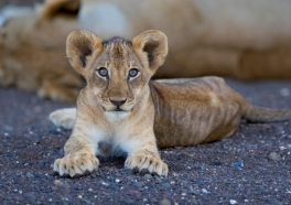 Video: Zoo Dissects Lion Cub in Front of Crowd of Children