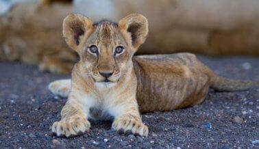 Video: Zoológico diseca a leona cachorro frente a una multitud de niños