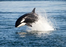 The Dolphins Stick Up for Orcas