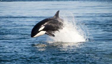 Los Delfines dan la cara por las orcas