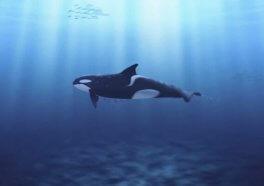 Actualización:California es el primer estado en prohibir la crianza de orcas en cautiverio
