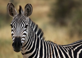 Zebras on the Lam: It's a UniverSoul Truth That Zebras Aren't Performers
