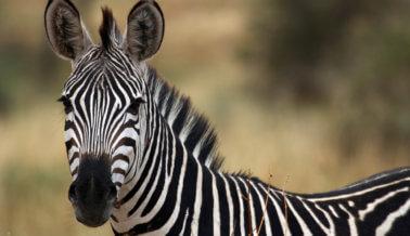 Cebras a la fuga: Es una verdad UniverSoul que las cebras no son actores