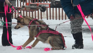 ¡Lo Logramos! PETA Está Acabando con el Negocio del Iditarod
