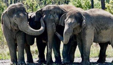 12 Elefantes se Recuperan de Ringling en un Hábitat Seguro