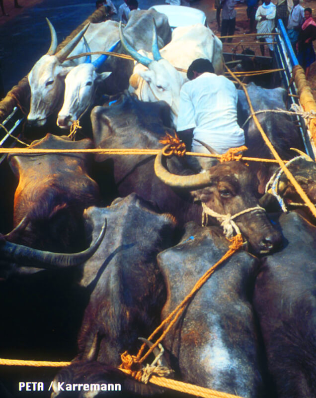 indian-leather-cows-on-transport-truck