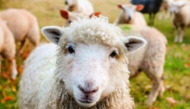 Mutilada, apuñalada, pateada y golpeada: Esta es la vida de una oveja