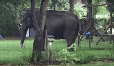 ¡Corre, Kelly, corre! Este elefante apuesta por ser libre